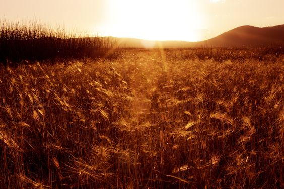 Amber Waves of Grain by Jake Schwartzwald, via 500px