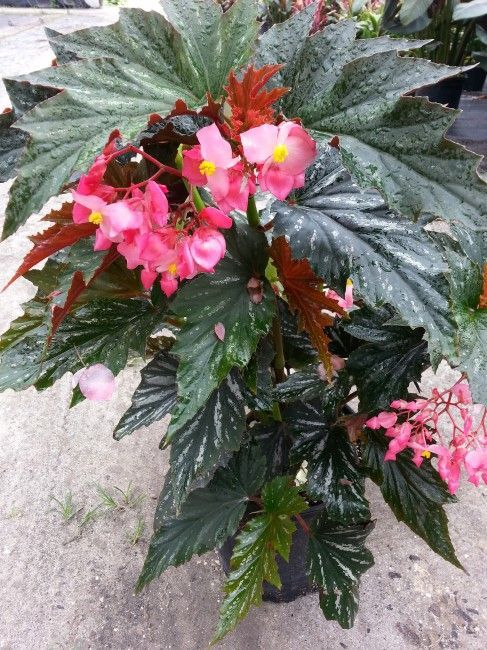 Angel Wing Begonia Has Large Silver Speckled Leaves And Lovely Pink Flowers Bright Indirect Encourages Indoor Flowering Plants Growing Plants Indoors Begonia