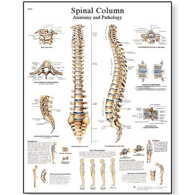 Worksheets Vertebral Column Worksheet spinal column chart vertebrae posters and charts human vertebral vertebral