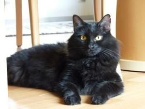 Coco Bella - Forest Cat! is an adoptable Norwegian Forest Cat Cat in League City, TX. This sweet girl was saved from a hard life on the streets. She came to us extremely underweight and pregnant. She...