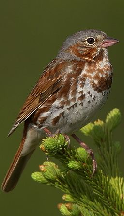 """FOX SPARROW (Passerella iliaca) - breed in thickets and chaparral across northern North America & south along the western mountains. They forage on leaf litter and bare ground, usually under dense cover. During the breeding season they eat mainly insects. They find their prey with a """"double-scratch"""" involving a hop forward and an immediate hop back, during which they simultaneously scratch both feet backwards through the leaf litter--I see them do this all the time in my Auburn backyard!"""