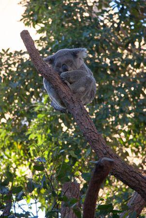 Koala by Hind Photo (Craig & Caroline Hind)