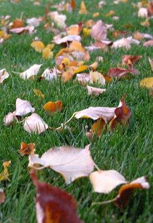 Why it is a mistake to rake leaves.  Use any lawnmower to mulch your leaves.  Much easier!