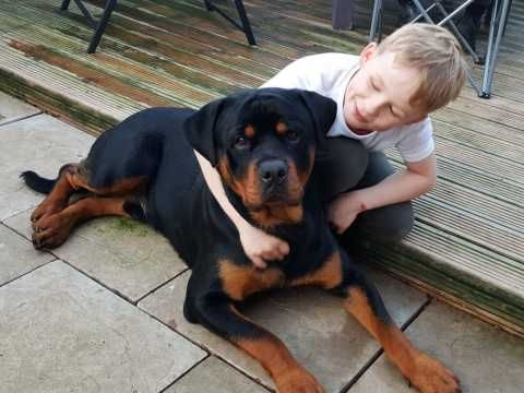 Proven Rottweiler For Stud Rottweiler South Yorkshire Yorkshire