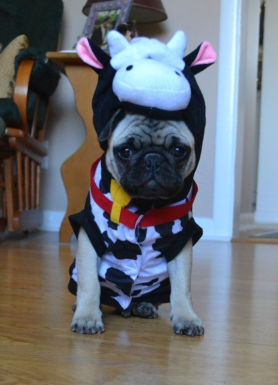 Our Pug Cow Boo Pugcostume Pughalloween Pugcow Pugclothes