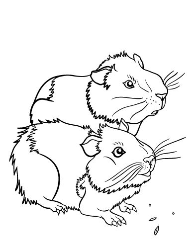 Printable guinea pig coloring page
