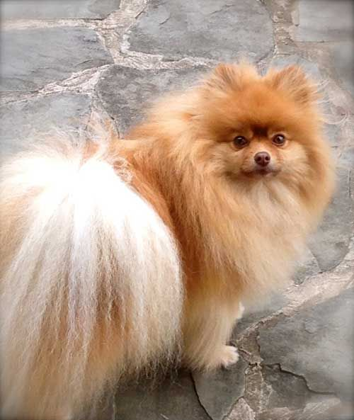 Excellent 3 Types Of Pomeranian Faces Testimonials Dee Dees Pomeranians Hairstyle Inspiration Daily Dogsangcom