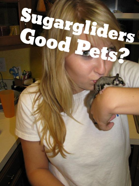 Are Sugargliders good pets or no? Can they live in our homes as exotic animals?