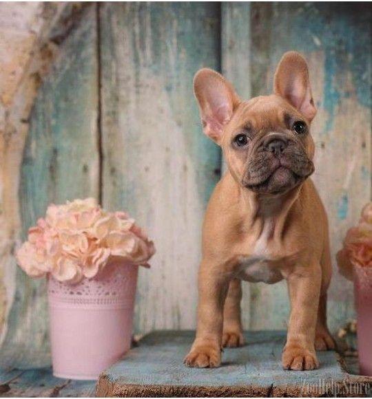 French Bulldog Price 1 800 Kutya