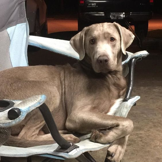 Life is better.... With a #silverlab in a #lawnchair