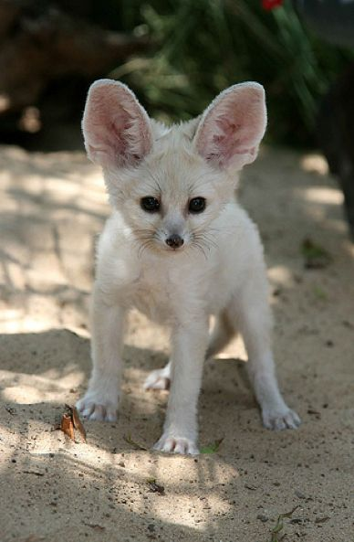 The Ultimate Collection of Baby Fennec Fox Pictures ...