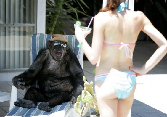 Cheeta, ou o chimpanzé que tomou seu lugar, relaxa em sua casa em Palm Springs