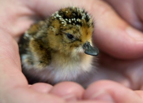 Saving the Spoons: Conservationists Rush to Save the Critically Endangered, Adorable Species, the Spoon-billed Sandpiper!