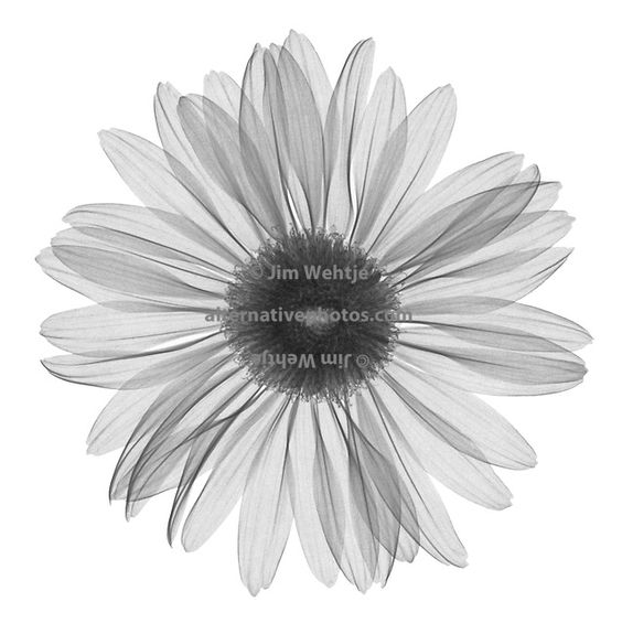 X-ray image of a gerbera daisy flower (Gerbera, top view, black on white) by Jim Wehtje, photo specialist in x-ray art and design images.