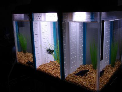 The solution to the problem betta tank betta and to the for Fish tank divider