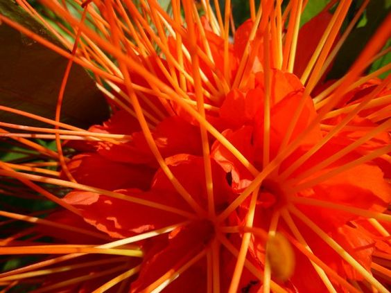 .: Orange Color, Orange Beauty, Beautiful Color, Orange Flowers, Color Orange, Bright Flowers, Beautiful Orange, Unusual Flower, Tropical Flowers