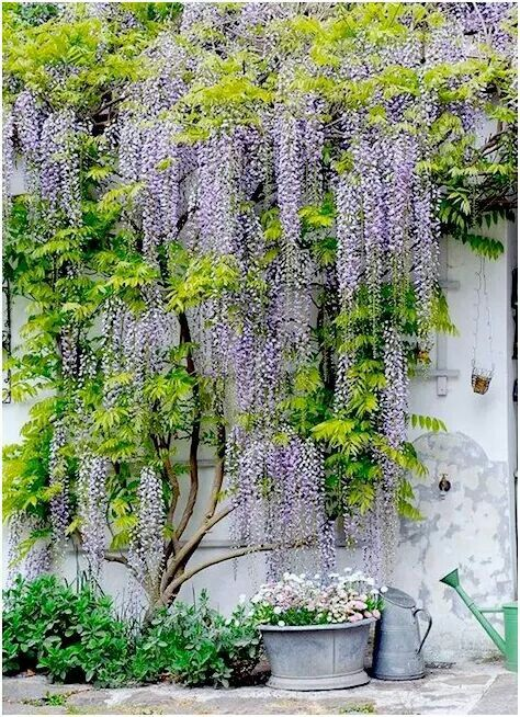 Wisteria on a trellis                                                                                                                                                     More