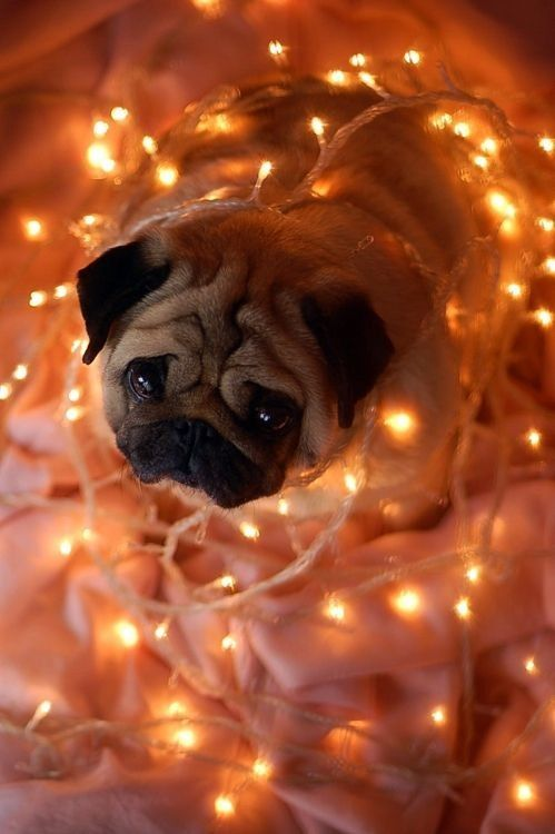 Pug Wrapped in Christmas Lights | Dogs Wrapped in Christmas Lights ...