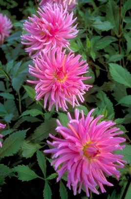 dahlia 'Pink Sensation'