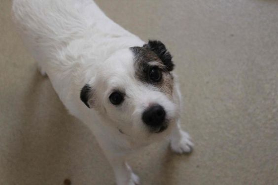 Adopt Khloe On Jack Russell Terrier Jack Russell Dog Adoption