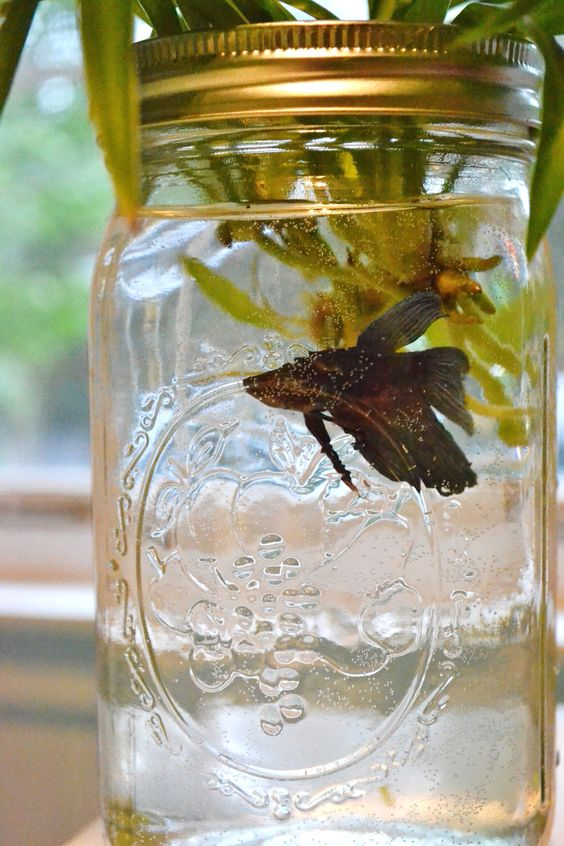 Jars cas and masons on pinterest for Distilled water for fish