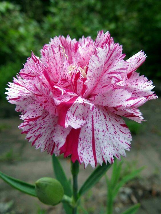 Cravo Lindo In 2020 Carnation Flower Flowers Perennials Rare Flowers