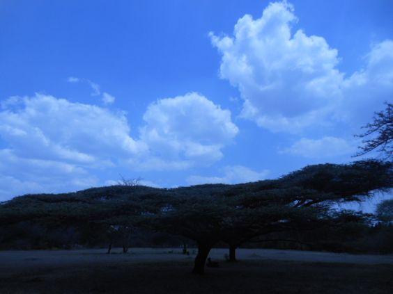 Thorn Tree, National Herbarium and Botanic Garden, Harare. November 2013