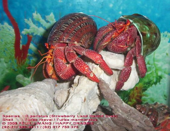 ***PRE-ORDER FOR EARLY SUMMER*** Strawberry Hermit Crab (Coenobita prelates)