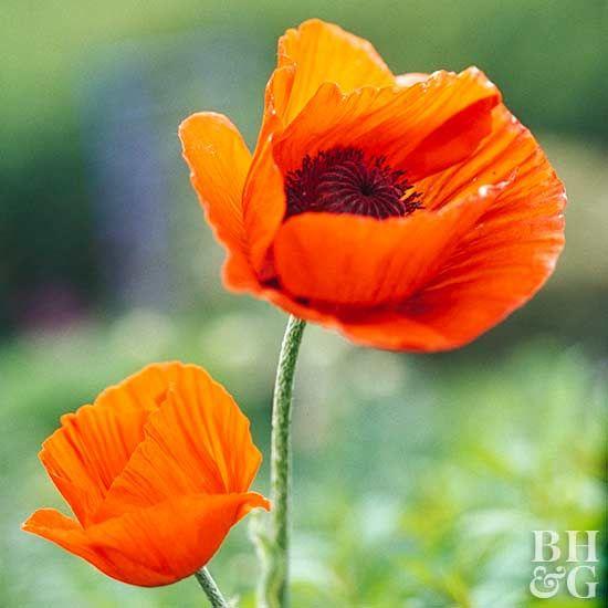 Scarlet color perennial wildflower Overstock Seeds Oriental Poppy Orange 100