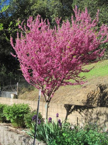 redbud/ I had planted one of these in my yard at Auburn. So pretty.