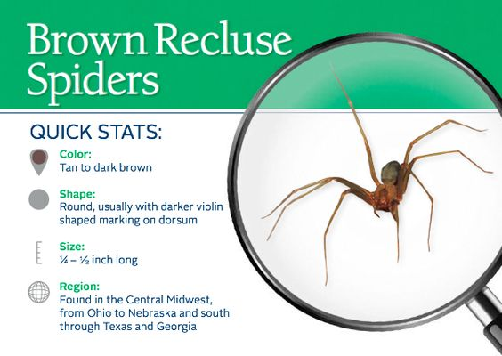 Brown Recluse Spider Recluse Spider And Spider On Pinterest