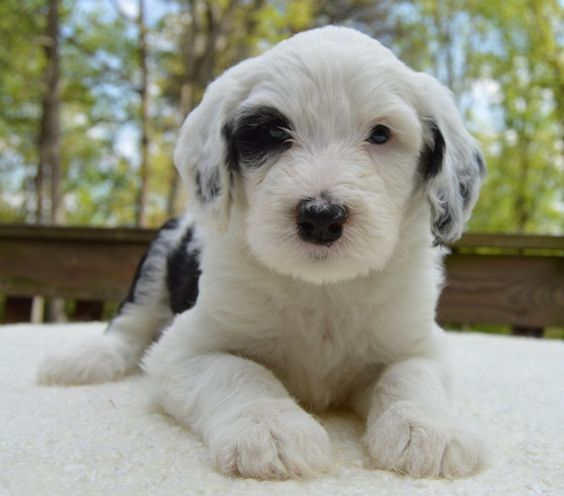 Crockett Doodles Puppies Attractive Puppy In Black And White