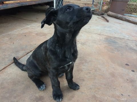 Cane Corso German Shepherd Dog Mix Puppy For Sale In Norman Ok