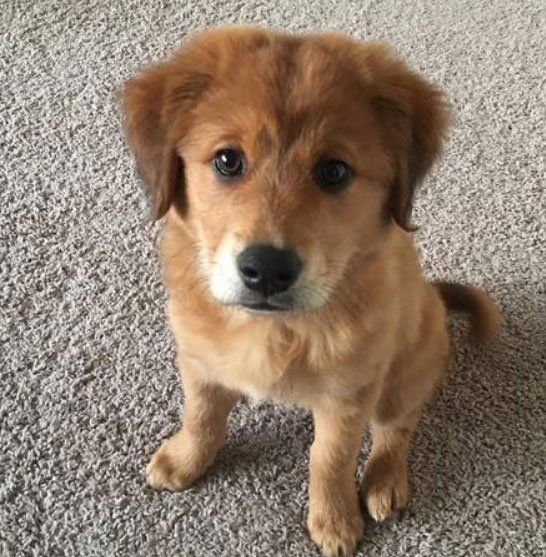 German Shepherd Golden Retriever Mix Golden Retriever Mix