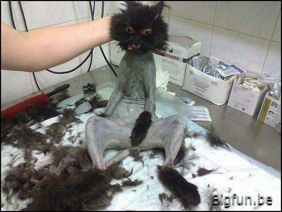 Geschoren kat ziet eruit als een cartoon