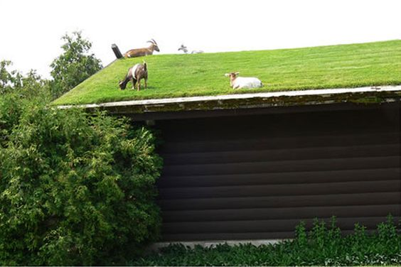 Goats On Roof Living Roofs Natural Building Cool Roof