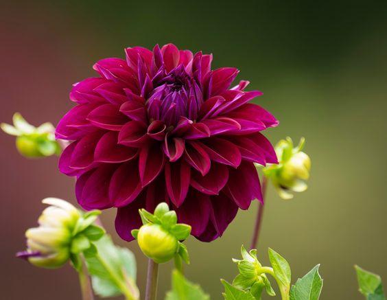 Картинки бордовая цветок Георгины Крупным планом Бордовый бордовые темно красный Цветы вблизи