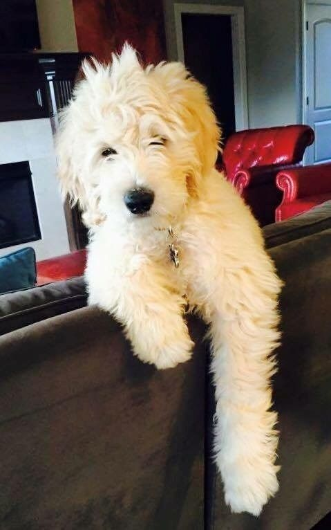 Goldendoodle Puppies For Sale Health Guaranteed Goldendoodle