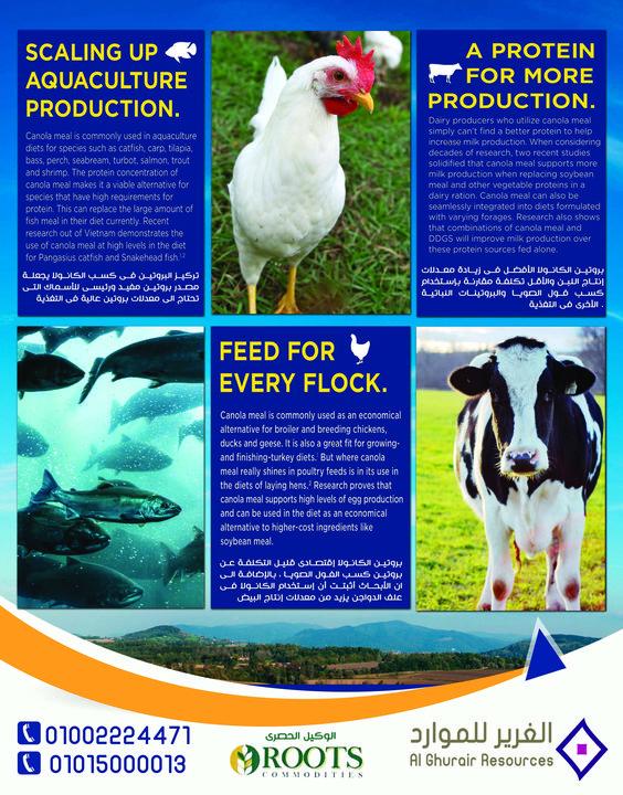 الغرير للموارد الوكيل الحصري roots  - كسب الكانولا مصدر رئيسى فى تغذية ( الماشية - الدواجن - الاسماك) تليفون: 01002224471 - 01015000013
