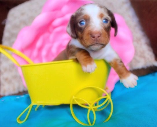 Chocolate And Tan Dapple Miniature Dachshund Puppy For Sale Sold