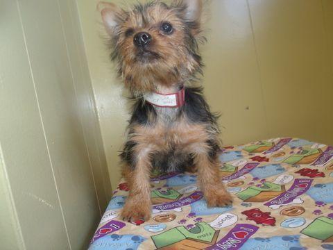 Yorkshire Terrier Puppy For Sale In Paterson Nj Adn 41333 On Puppyfinder Com Gender Female Age 14 Weeks Old Yorkshireterrier