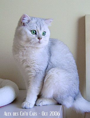 Alex des Ch'ti Cats British Shorthair Chinchilla