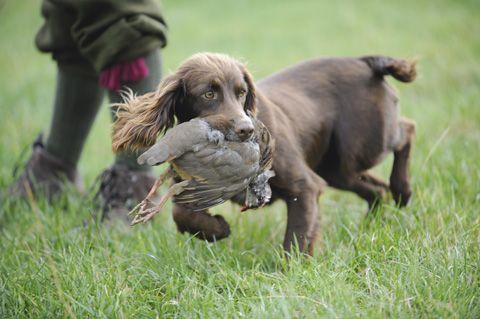 Gundog training:The golden rules of picking-up | Gundog training, gundog trials, working tests, gundog results, gundog health | Shooting UK | Shooting UK