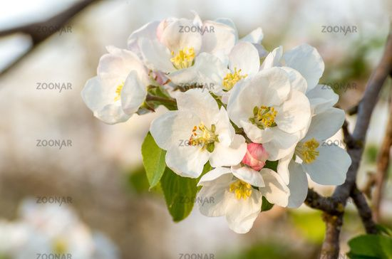 Spring Blossoms Of Blooming Apple Tree In Springtime A Flower Of Apple Tree Close Up Shot At Sunset Blooming Apples Spring Blossom Apple Flowers