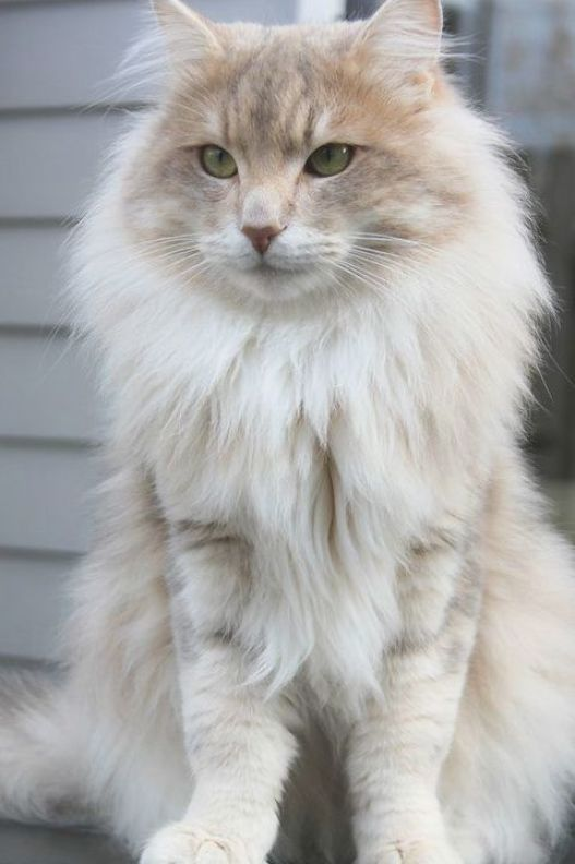 Luke Dane Of Amber Forest Norwegian Forest Cat Who Lives In Northern Holland Selkirk Rex Ideas Of Selkirk Rex Selkirkrex Luke Dane Of Amber Forest Norw Di 2020