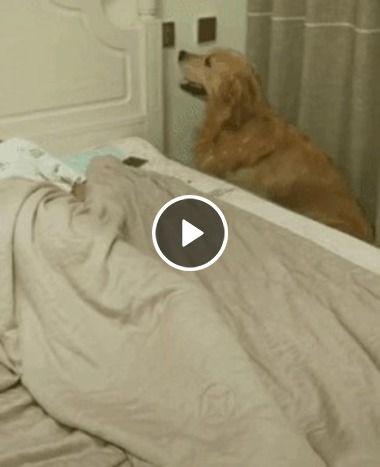 Cão que cuida da dona é muito lindo.