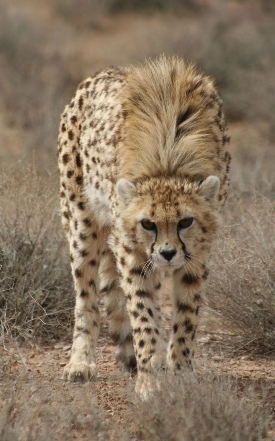 Asiatic Cheetah. A baby cheetah with its long infant hair...taking on the looks of an adult.