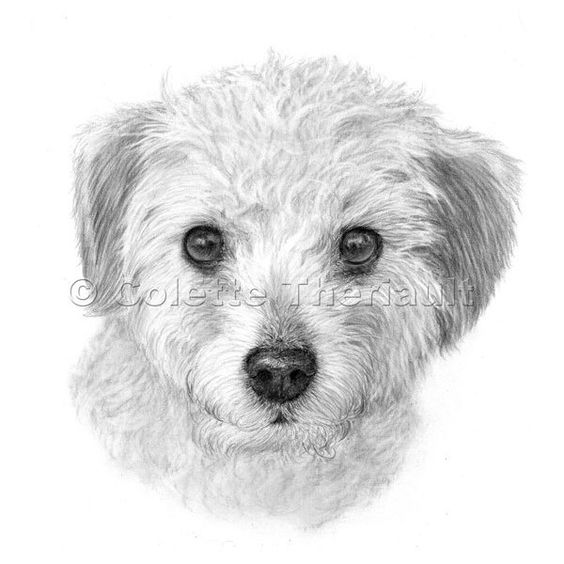 Terrier Poodle mix Drawing-Pet Portraits Painting Custom Graphite... ❤ liked on Polyvore featuring drawings and art