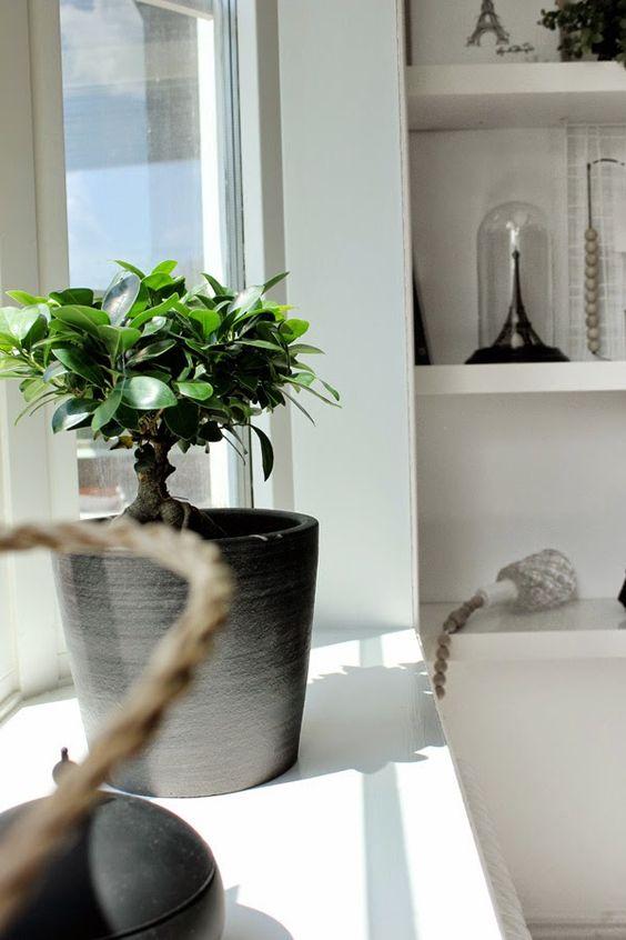 citronfikus, blomma, växt, blomsterlander, gröna växter, bonsai ...