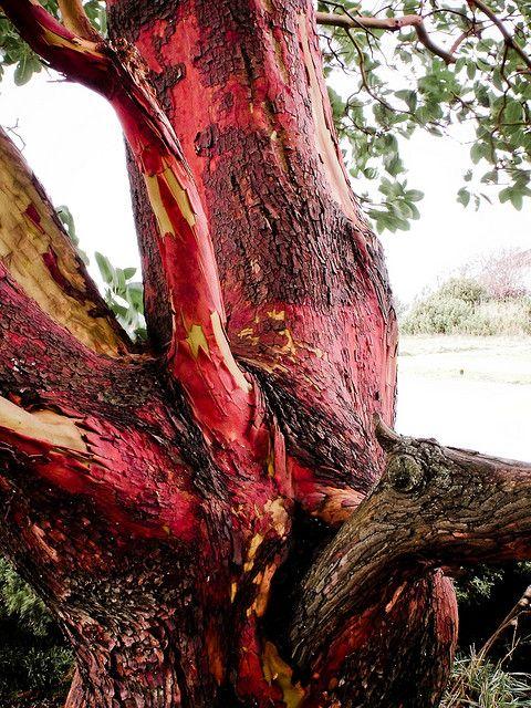"Arbutus tree knot. ""Beacon Hill Park, Victoria, BC"" #explorebc"